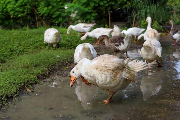 L'oca del gruppo sta mangiando l'erba nel giardino della fattoria naturale dopo una giornata di pioggia