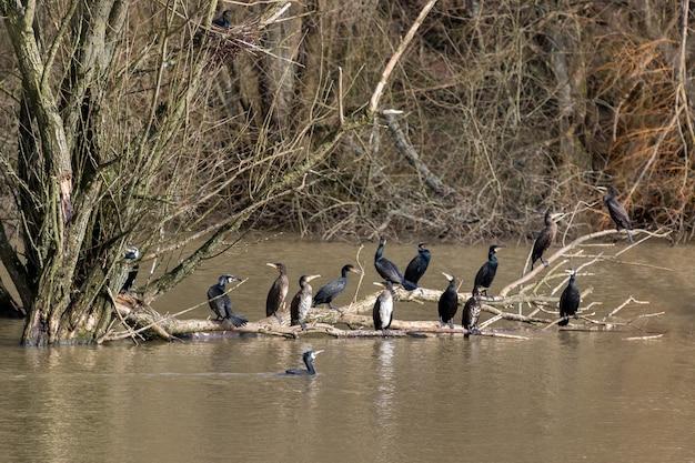 Un gruppo di cormorani (phalacrocorax carbo) seduto su un ramo a weir wood serbatoio