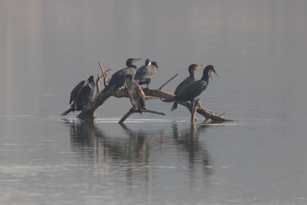 Gruppo di grandi cormorani (phalacrocorax) in