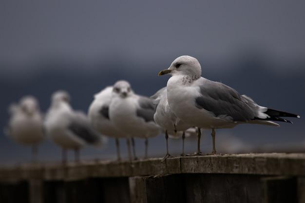 Un gruppo di gabbiani di hartlaubs che si rilassano su un'asse