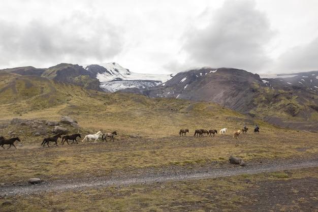 Un gruppo di cavalli al galoppo intorno a landmannalaugar, islanda