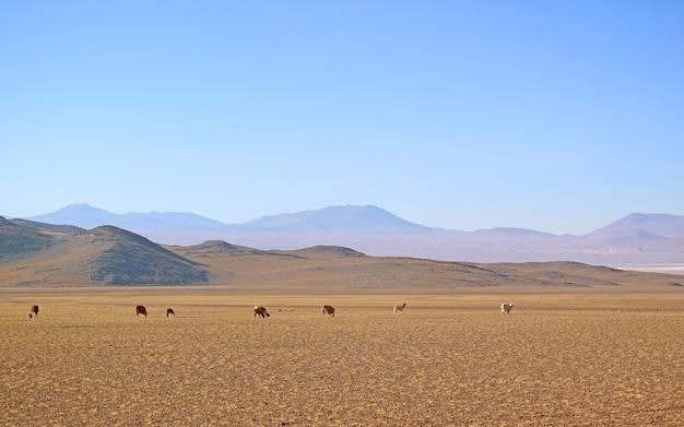 Gruppo di lama al pascolo nel prato ai piedi delle ande, altiplano boliviano, bolivia
