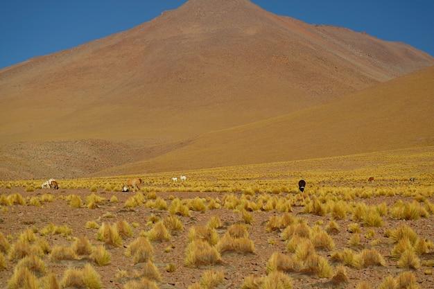 Gruppo di llama al pascolo nel campo di erba stipa ichu ai piedi delle ande, l'altopiano boliviano, puna prateria, bolivia, sud america