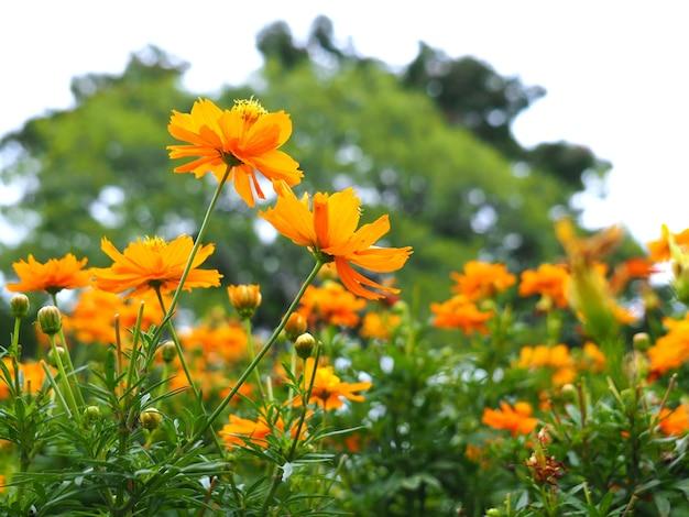 Gruppo di fiori d'arancio nel parco al mattino con la luce del sole floreale fresco