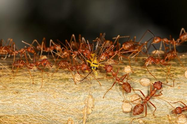 Gruppo di formiche rosse attacco giallo ordito su albero in natura