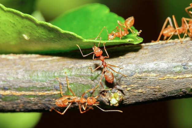 Formica rossa del gruppo sull'albero del bastone in natura alla foresta