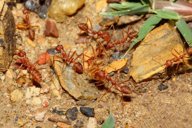Raggruppi la formica rossa che cammina e prenda l'alimento al nido sul pavimento della sabbia
