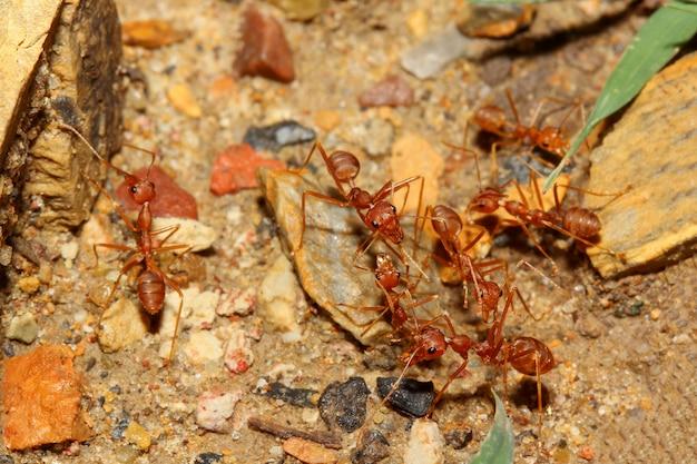 Formica rossa del gruppo che cammina sul pavimento della sabbia