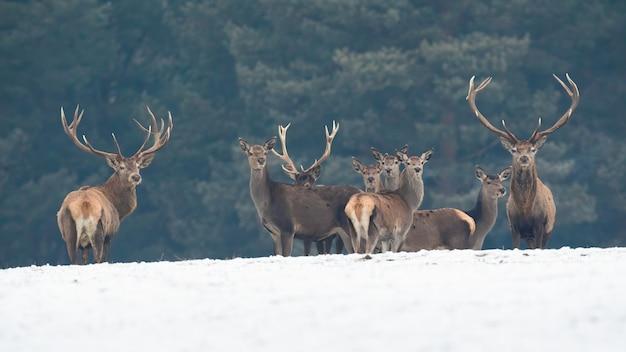 Gruppo di cervi nobili che guardano sulla neve in inverno natura