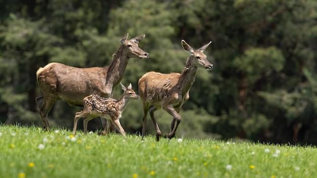 Gruppo di cervi nobili che corrono sul campo verde in primavera