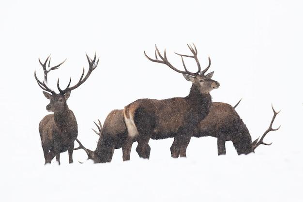 Gruppo di cervi nobili in piedi sulla neve isolata su sfondo bianco