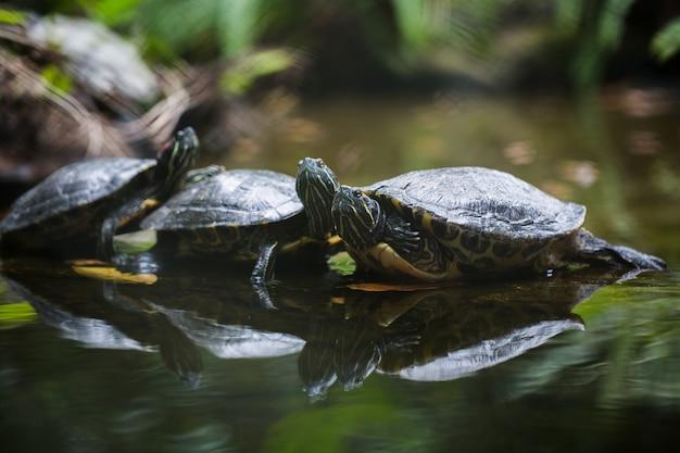 Gruppo cursore dalle orecchie rosse appoggiato sulla riva foderata di tartaruga Foto Premium