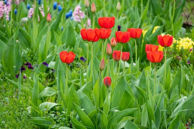 Gruppo di tulipani rossi nel parco