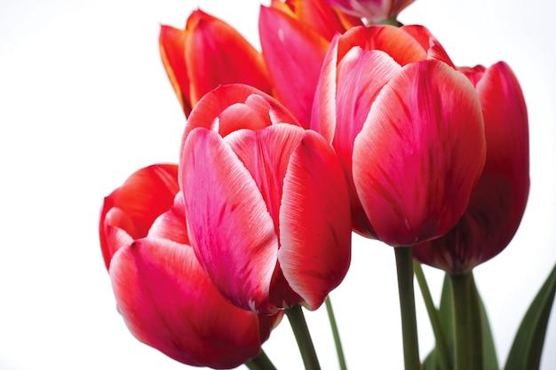 Gruppo di tulipani rossi su sfondo bianco