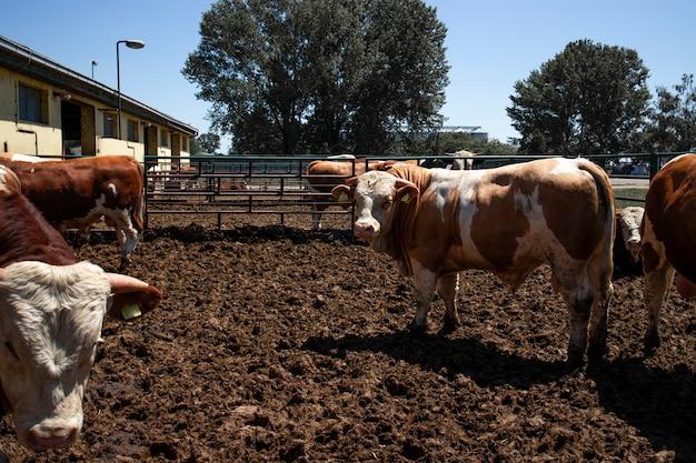 Gruppo di forti tori muscolari animali domestici per la produzione di carne presso l'azienda agricola biologica.