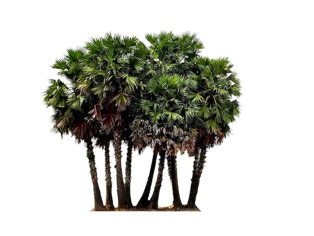 Gruppo di palma da zucchero isolato su sfondo bianco