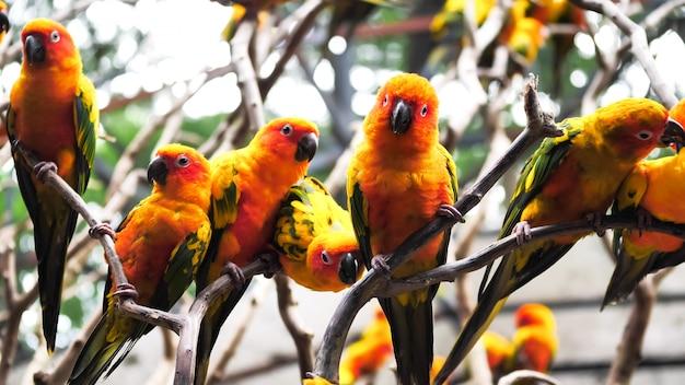 Gruppo di uccelli di conuro di sun che tengono insieme i rami nello zoo.