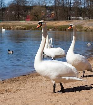 Gruppo di cigni in primavera bellissimo gruppo di uccelli acquatici uccello del cigno sul lago in primavera lago o fiume con cigni che sono venuti a riva closeup
