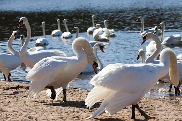 Gruppo di cigni in primavera, bellissimo gruppo di uccelli acquatici uccello del cigno sul lago in primavera, lago o fiume con cigni che sono venuti a terra