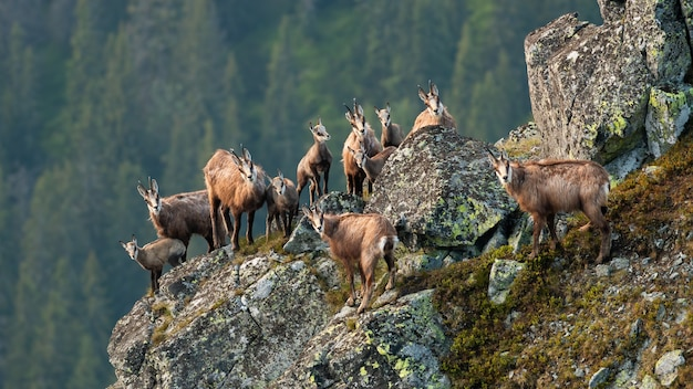 Gruppo di camosci tatra che si arrampicano sulle rocce in estate