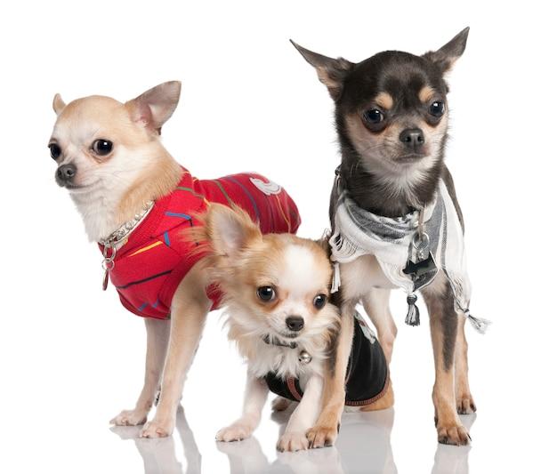 Gruppo di tre chihuahua