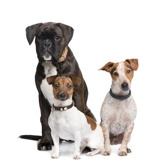 Gruppo di tre cani boxer, jack russell e un incrocio