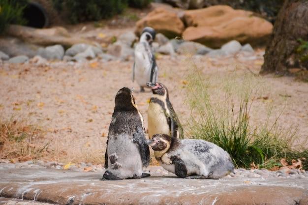 Un gruppo di tre pinguini humboldt in via di estinzione su una roccia sul bordo vicino all'acqua. regno unito.
