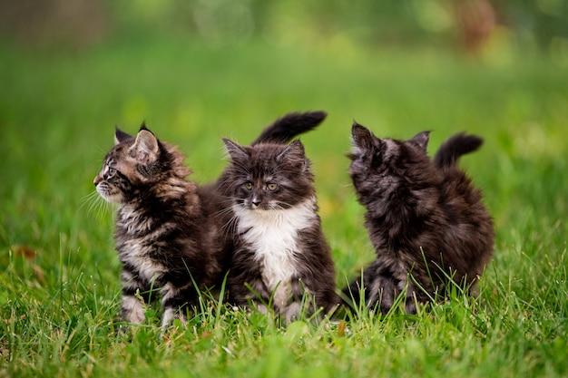 Un gruppo di tre soffici gattini maine coon cammina sull'erba verde.