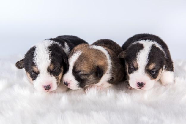 Gruppo di tre pembroke welsh corgi pembroke cuccioli cani isolati su sfondo bianco