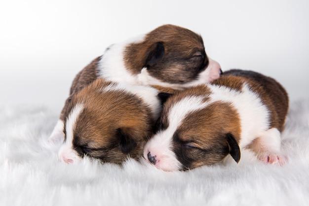 Un gruppo di tre cani di cuccioli di pembroke welsh corgi pembroke isolati su uno scenario bianco