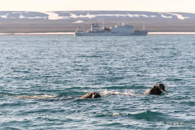 Gruppo di trichechi che nuotano nel mare artico con una nave da crociera sullo sfondo.