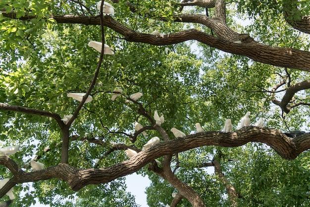 Un gruppo di piccioni bianchi nell'albero