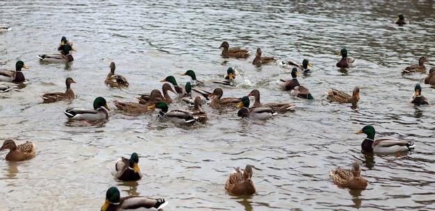 Gruppo di anatre selvatiche in acqua dello stagno nel parco. le anatre domestiche (anas platyrhynchos) allo stato selvatico.