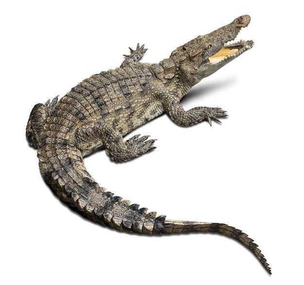 Gruppo di coccodrillo della fauna selvatica isolato su priorità bassa bianca