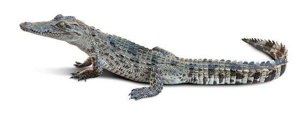 Gruppo di coccodrillo della fauna selvatica isolato su bianco