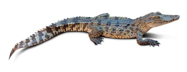 Gruppo di coccodrillo della fauna selvatica isolato