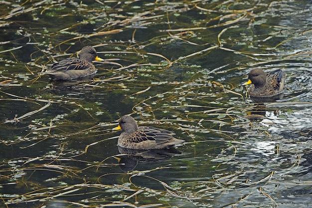 Gruppo di anatre dal becco giallo che nuotano in un lago in sud america