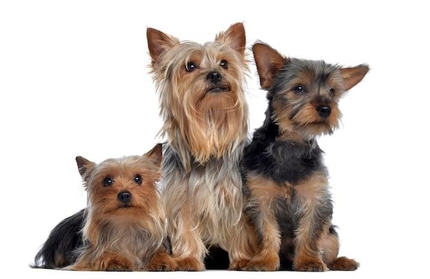 Gruppo di yorkshire terrier isolato