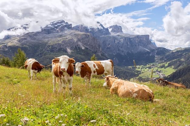 Gruppo di giovani mucche curiose nelle dolomiti italiane. trentino alto adige, italia