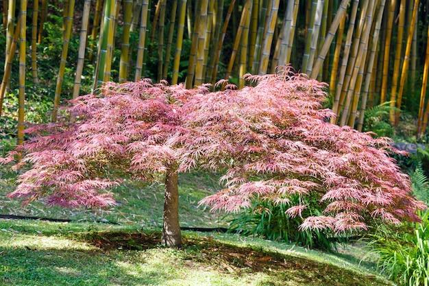 Boschetto di bambù e albero rosa arbuscle davanti