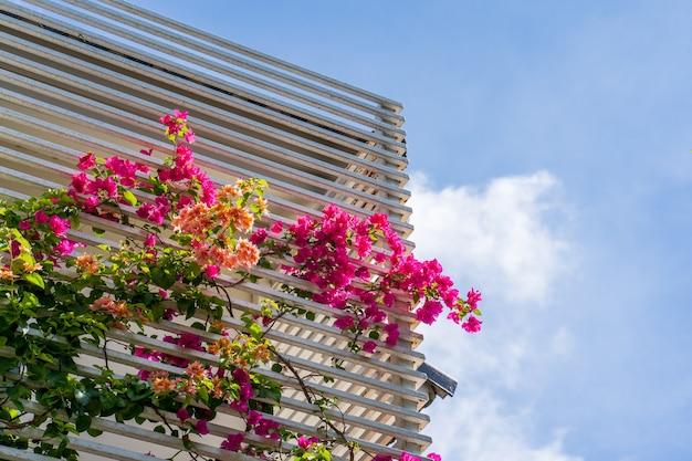 Bouganville in crescita sulla recinzione metallica al balcone