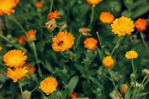 Calendula fiori in crescita
