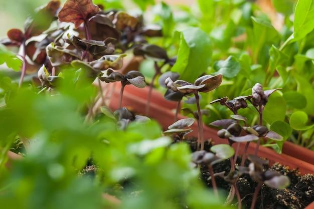 Coltivazione di erbe sul davanzale della finestra. giovani germogli di basilico lilla, prezzemolo e rucola in una pentola su un davanzale bianco.