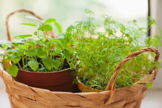 Coltivazione di erbe sul davanzale della finestra. giovani germogli di melissa e aneto in vaso e cestino su un davanzale bianco.