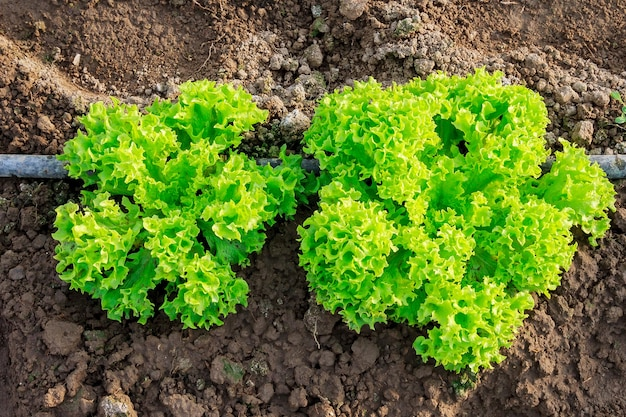 Coltivare un'insalata succosa in una serra con irrigazione a goccia.