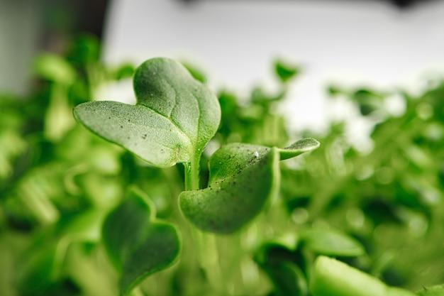 Foglie in crescita di micro pianta verde