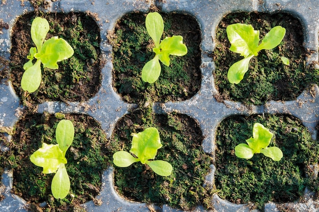 Piantine di lattuga in crescita in una serra. piantare giovani piantine.