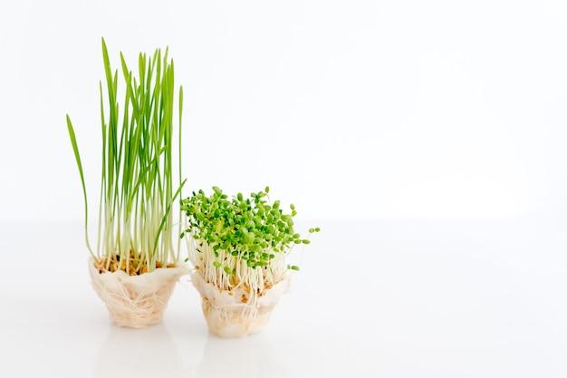 Microgreens in crescita su sfondo bianco con spazio libero per il testo, concetto di mangiare sano di prodotti freschi da giardino coltivati biologicamente come simbolo di salute.