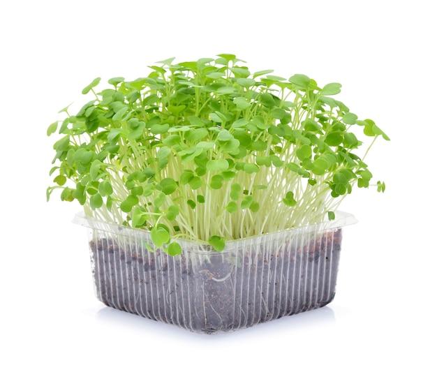 Microgreens in crescita su sfondo bianco