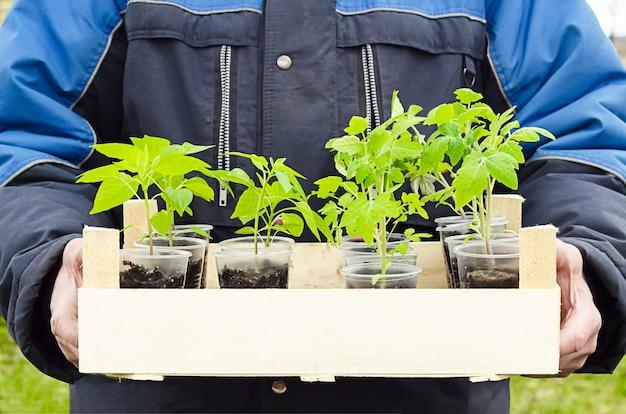 Nuovo raccolto in crescita, raccolto. agricoltore maschio che tiene scatola di legno con piantine di verdure